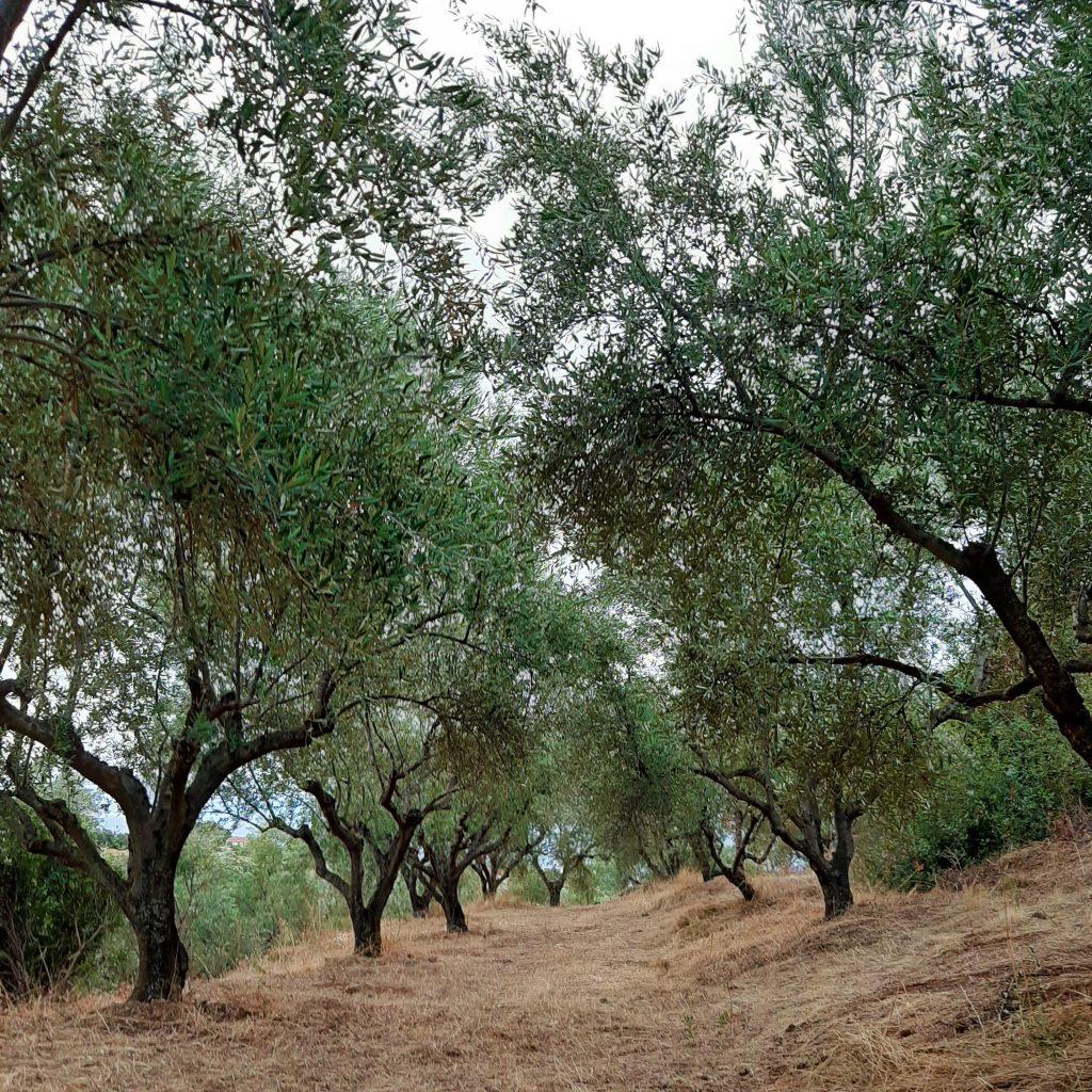 Explore around - Peripetia Surroundings - Olive trees